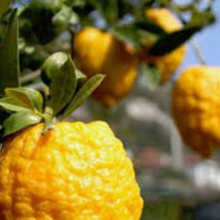 Oggi il primo appuntamento on line con gli agrumi di Cannero Riviera