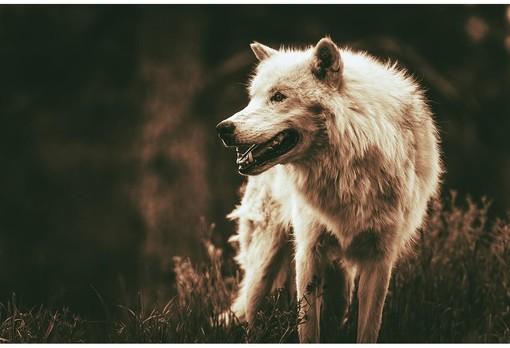 Gestione lupo Piemonte, incontro tra gli allevatori ovicaprini di montagna e il vicepresidente Carosso
