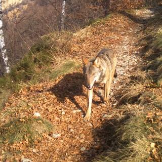 Dalla Regione 300 mila euro agli allevatori per l'indennizzo dei danni causati dai lupi