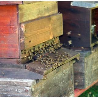 Panza: Sostegno della Lega all'apicoltura italiana